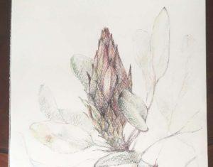 プロテア花つぼみ部分